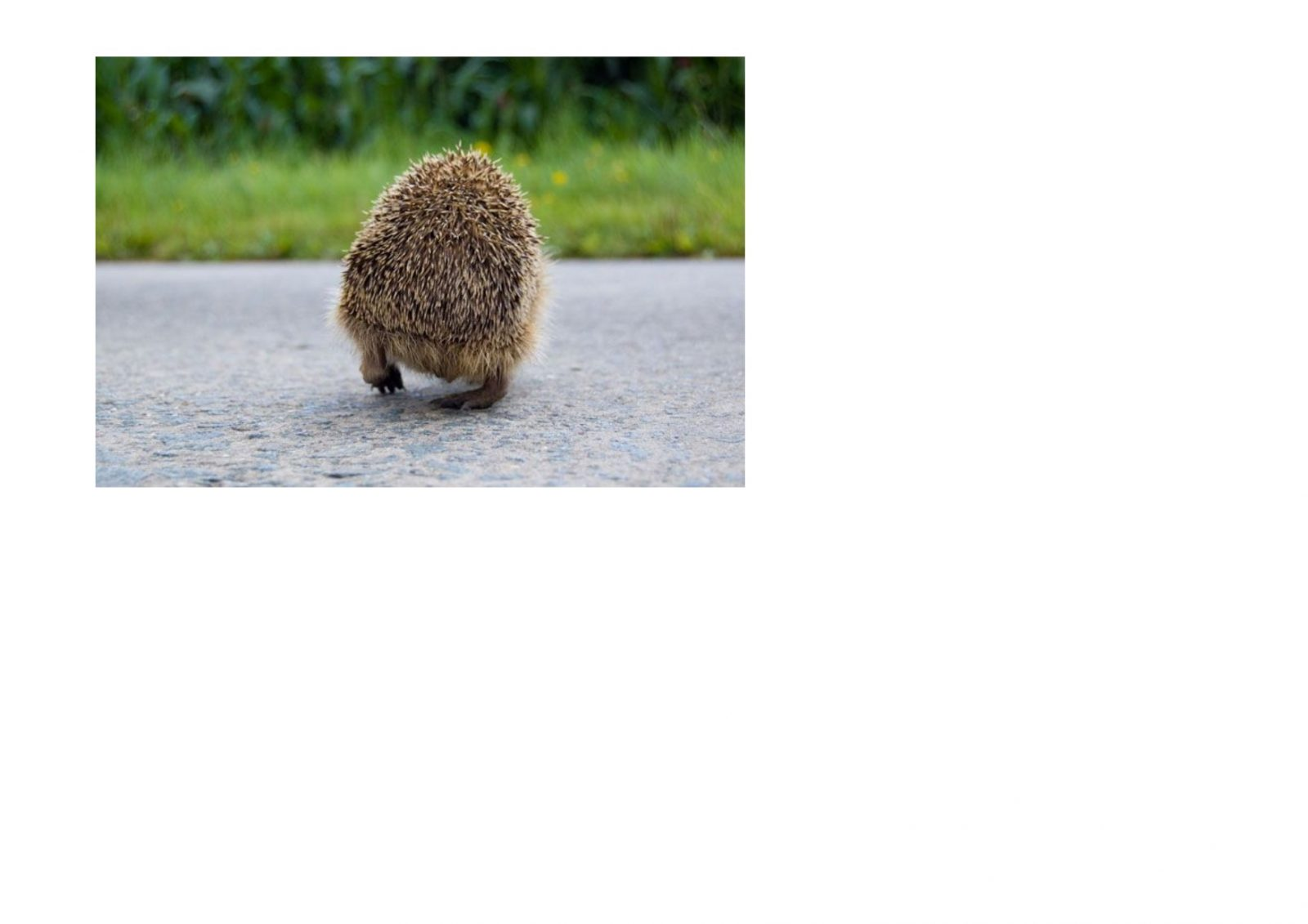 The Hedgehog Predicament- CANCELLED